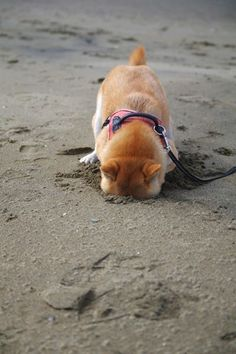 Shiba Inu puppy at the beach - this will be our puppy bobby. first time at the beach burying their head in the sand. Cute Puppies, Cute Dogs, Dogs And Puppies, Corgi Puppies, Love My Dog, Funny Animals, Cute Animals, Hachiko, Japanese Dogs