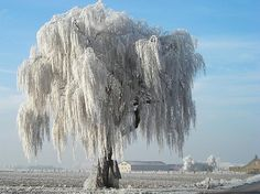 beautiful snowy Willow tree