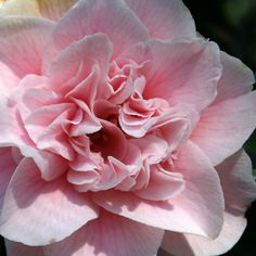 Camellia japonica 'Elegans Splendor' (U.S., 1971)