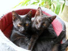 Paige et Phoebe, chatons femelles et panthères noires quasi jumelles...