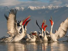 Dalmation Pelicans, Lake Kerkini, Greece (Jari Peltomaki, Wild Wonders of Europe)