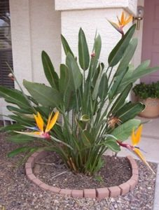 Strelitzia Reginae Bird Of Paradise 15 Gallon Birds Of Paradise Plant Paradise Plant Plants