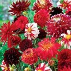 Fire & Ice Dahlia Mix  Not Too Hot, Not Too Cold...Just Right.....so pretty!