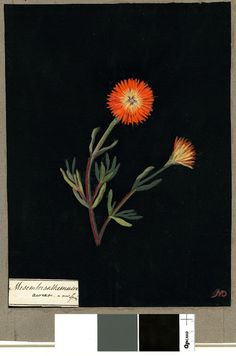 Mary Delany, cut paper collage artist of flowers in the 1770's