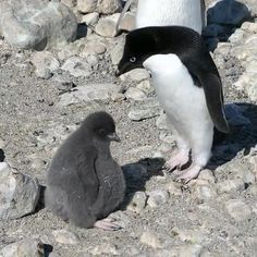 Cute Little Animals, Cute Funny Animals, Funny Animal Videos, Funny Animal Pictures, Beautiful Birds, Animals Beautiful, Cute Funny Babies, Cute Penguins, Animal Quotes