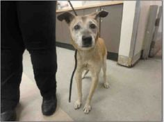 """A 15-year-old dog named Zeke has found himself without a home just before Thanksgiving. The elderly mixed breed dog was taken to the Los Angeles Animal Services – East Valley Shelter on November 19. A dog lover posted Zeke's heartbreaking plight to Facebook, along with what she learned about the reason for his surrender: """"ZEKE …"""