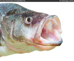 Perch Fish With Open Mouth Poster Shoal Of Fish, Beautiful Eyes, Royalty Free Stock Photos, Cats, Illustration, Fun, Poster, Animals, Pretty Eyes