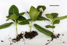 Catharanthus- plant propagation by tip cutting