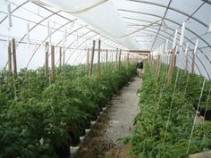 Tomatoes on March Coming along nicely. Mayse is making sure. Greenhouse Tomatoes, March, How To Make, Mac