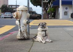 Real life pug, waiting patiently (there may be a snack!) This is really how pugs sit.