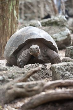 Darwin observed the tortoises on the Galapagos Islands and noticed differences among species on different islands. Sulcata Tortoise, Tortoise Care, Giant Tortoise, Tortoise Turtle, Land Turtles, Sea Turtles, Animals And Pets, Cute Animals, Russian Tortoise