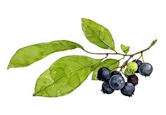 Blueberries Botanical Watercolor