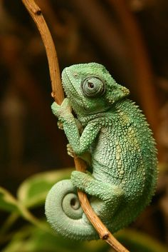 Never really been a lizard person but i really want a chameleon for some reason. And yes, i would name him Pascal <3