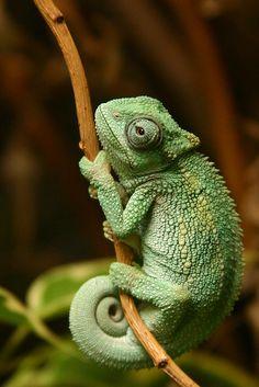 Stunning wildlife on - chameleon - # chameleon animals Breathtaking Wildlife on - Chameleon - # Breathtaking # Chameleon . Jonna Pinsel jonnapinsel Tiere Stunning wildlife on - chameleon - # chameleon Nature Animals, Animals And Pets, Baby Animals, Funny Animals, Cute Animals, Green Animals, Cute Reptiles, Les Reptiles, Reptiles And Amphibians