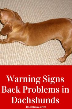 Warning signs of back problem in Dachshunds.Anatomy of Dachshunds Spine. Symptoms of Intervertebral Disc Disease in Dachshunds. Helpful Tips to Prevent Intervertebral Disc Disease in Dachshunds. Dachshund Breed, Dapple Dachshund, Daschund, Dachshunds, Dog Health Tips, Pet Health, Health App, Dog Illnesses, Intervertebral Disc
