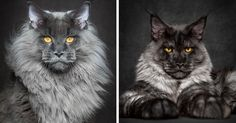 Mythical Beasts: Photographer Captures The Majestic Beauty Of Maine Coons | Bored Panda