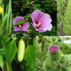 Vízhajtó gyógynövények – készíts vízhajtó teakeveréket Plants, Plant, Planets