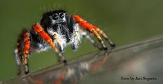 AMORE DI RAGNO – Vita amorosa dei Salticidae