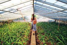 Pineapple Plantation Ponta Delgada, Azores, Amsterdam, Islands, Places, Travel, Life, Lugares, Viajes