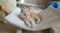 Vihi Maicono red silver tabby white Maine Coon boy