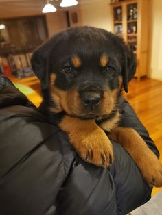 Everything Rottweiler related including health, temperament, training, and pictures. This is not the place to look for a stud for your dog, stud. Doggies, Dogs And Puppies, Boxer Love, Rottweiler Puppies, Rottweilers, Cuddles, Animal Rescue Shelters, New Girl, F1