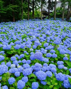 "Unshoji Temple雲昌寺AkitaUnshoji, the Buddhist temple in Kitaura, Oga, is called ""the hydrangea temple"". Hortensia Hydrangea, Hydrangea Care, Hydrangea Flower, Amazing Flowers, Blue Flowers, Beautiful Flowers, Peonies And Hydrangeas, Flower Aesthetic, Belleza Natural"