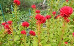 Celosia growing at Fernrock Farm.