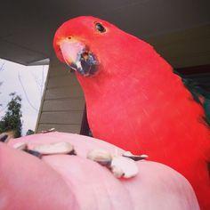 #king parrot #australia #lidsvagas #sundaymorning