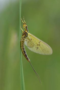 Mayflies live under the water as nymphs for one to three years. Then, they come out in droves to find a mate. The clock is ticking, because they only have 24 hours as an adult before they die. The adults do not have mouths and their digestive systems are nonfunctional at this stage, because they do not have time to use them.   Once they have mated, a female will lay as many as 8000 eggs in the sediment before dying.