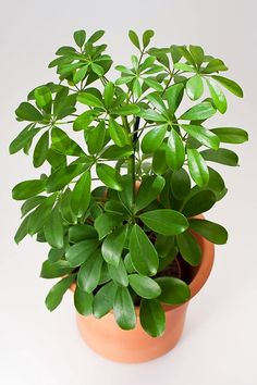 Umbrella Plants: Our Best Tips for Growing and Care | Apartment Therapy