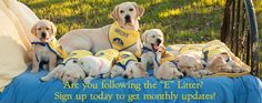 Canine Companions for Independence - a litter of future therapy and companion dogs.
