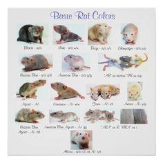 More Than 44 Basic Rat Colors Poster póster colores básicos de rata grundlegendes ratten-farbplakat poster di colori ratto di base Hamsters, Pet Rodents, Rat Facts, Rat Care, Best Egg Laying Chickens, Rat Toys, Pembroke Welsh Corgi Puppies, Fancy Rat, Cute Rats
