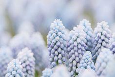 Nice #flowers #Beautiful #spring #pastel #blue