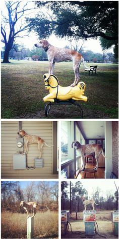 maddie the coonhound will stand on just about anything · http://maddieonthings.com/