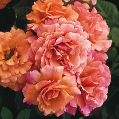 """Easy Does It' Floribunda Rose has adorable ruffled blooms in shades of mango, peach and apricot. Super healthy and easy to grow! 2010 All-America Rose Selection."