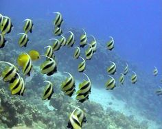 Colorful Underwater Tropical Banner Fish In The Red Sea Stock ...