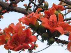 Shimul - Cotton tree - Bombax malabaricum