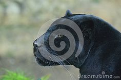 Black Jaguar - Download From Over 24 Million High Quality Stock Photos, Images, Vectors. Sign up for FREE today. Image: 27036277