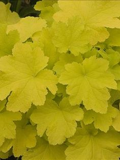 Odd Colors + Container Gardening: Heuchera 'Citronelle'