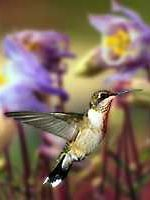 Plants to attract hummingbirds: azalea, butterfly bush, flame acanthus, flowering quince, lantana, manzanita, mimosa, red buckeye, turks cap, honeysuckle, cypress vine, morning glory, trumpet creeper, columbine, coral bells, foxglove, hosta, mint, yucca, impatiens, petunia, salvia, jacobiana