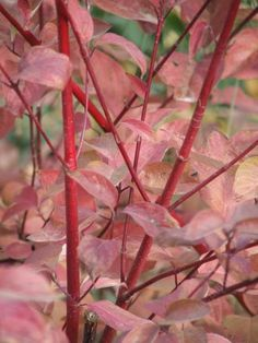 "Great article ""Myths about California Natives""  (Pic: Cornus stolonifera, Red Stem Dogwood)"