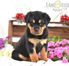 #Rottweiler #Charming #PinterestPuppies #PuppiesOfPinterest #Puppy #Puppies #Pups #Pup #Funloving #Sweet #PuppyLove #Cute #Cuddly #Adorable #ForTheLoveOfADog #MansBestFriend #Animals #Dog #Pet #Pets #ChildrenFriendly #PuppyandChildren #ChildandPuppy #LancasterPuppies www.LancasterPuppies.com Rottweiler Puppies For Sale, Lancaster Puppies, Ready To Play, Mans Best Friend, Puppy Love, Adoption, Pets, Animals, Foster Care Adoption