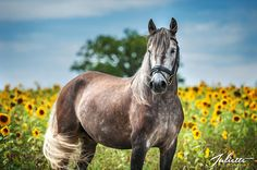 Lusitano-Vulcan / Horse in a sunflower field. Most Beautiful Animals, Beautiful Horses, King Horse, Horse Ears, Black Stallion, Clydesdale, Horse Breeds, Farm Animals, Grey Horses