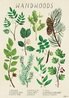 I'm an illustrator from Australia who enjoys plants, magic, botanical illustration, and strange, curious objects. - Online Store Powered by Storenvy Harry Potter Poster, Botanical Drawings, Botanical Prints, Botanical Posters, Harry Potter Plants, Poster Wall, Poster Prints, Book Of Shadows, Picture Wall