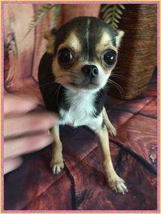 21 Best Debra Bourassa images in 2017   Chihuahua breeders