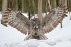 Great Grey Owl | Great Grey Owl