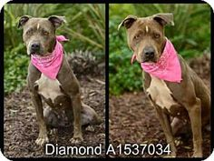 San Pedro, CA - American Pit Bull Terrier. Meet DIAMOND, a dog for adoption. http://www.adoptapet.com/pet/12478610-san-pedro-california-american-pit-bull-terrier