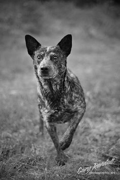 Intensity (Anyone with a cattle dog knows that intense gaze!)
