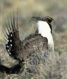 Sage Grouse... hunted lots of these