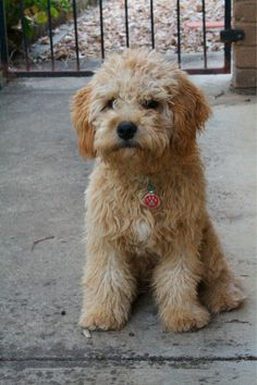 King Charles cavalier + poodle = love